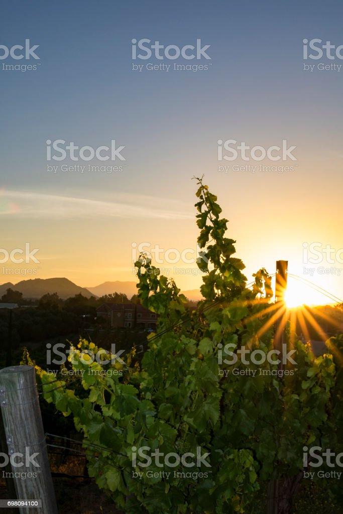 California winery and vineyard at sunrise stock photo