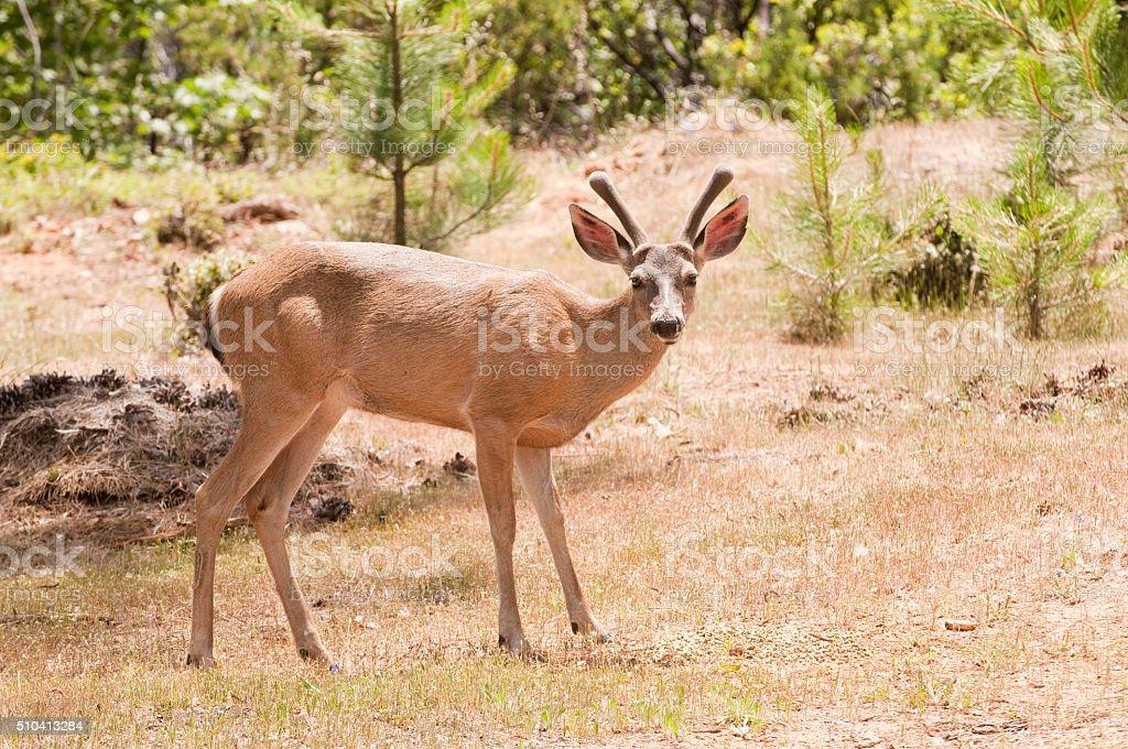 Californian Black-tailed deer stock photo