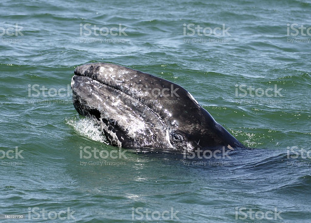 Californian Grey Whale stock photo