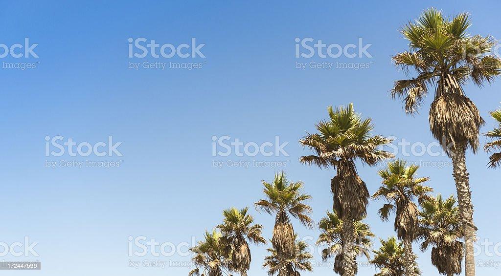 Californian palm tree royalty-free stock photo