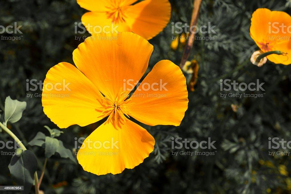 Californian Poppy stock photo