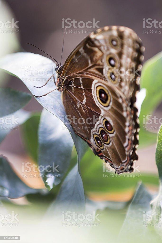 Caligo Eurilochus butterfly on leaf stock photo