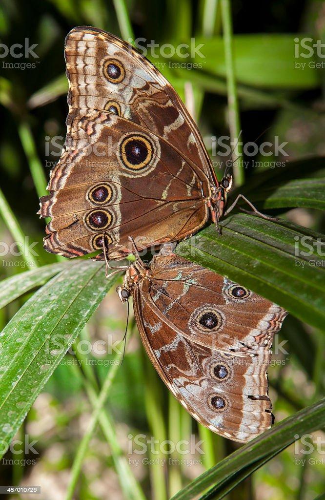 Caligo Memnon mating stock photo