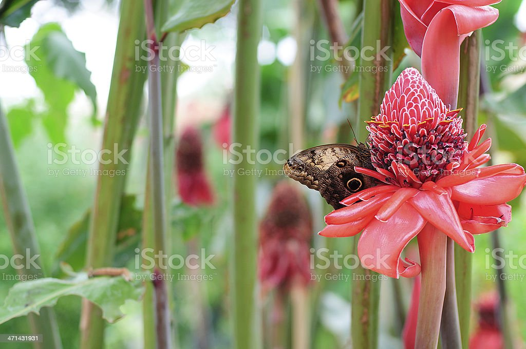 Caligo Memnon on Red Flower and Caterpillar stock photo