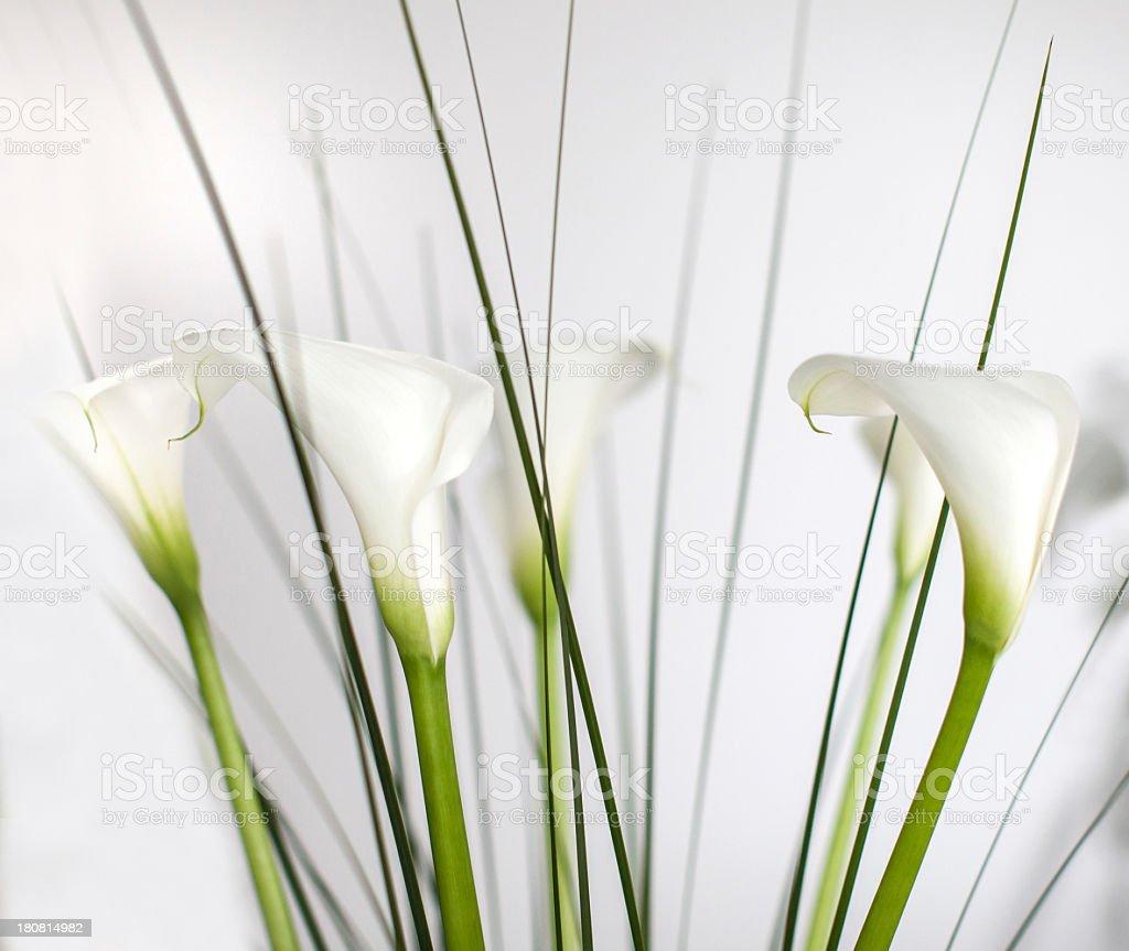 Calla Flowers royalty-free stock photo