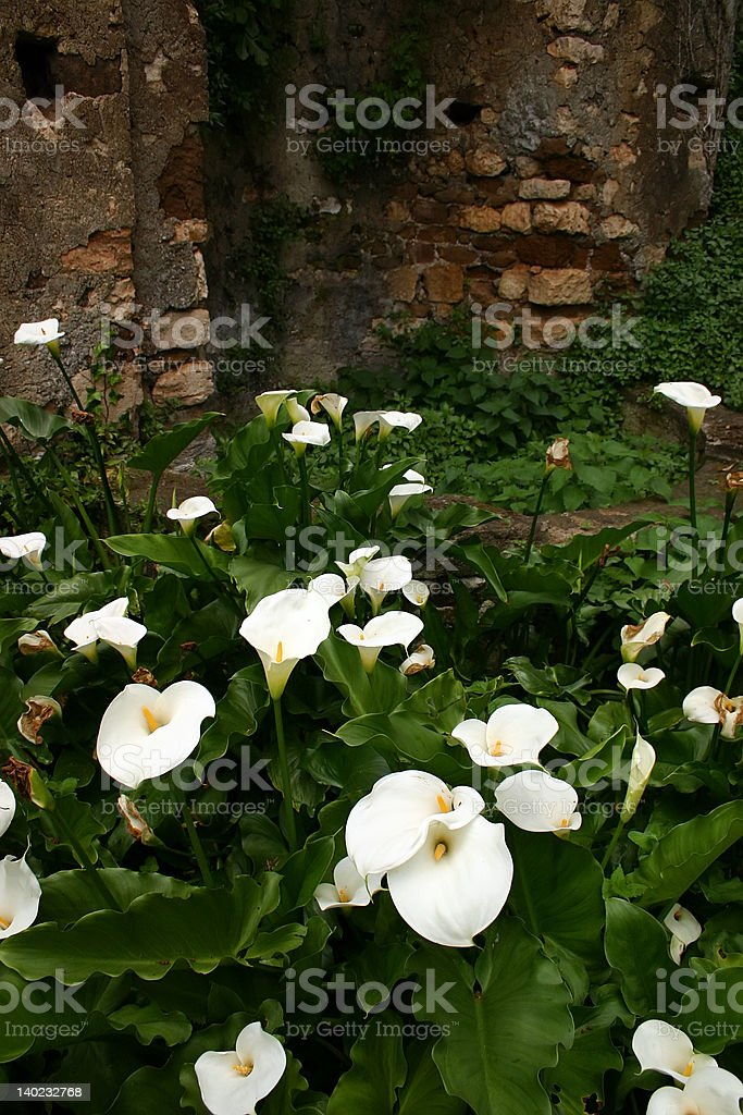 Calla Lilies at Ninfa Gardens near Rome royalty-free stock photo