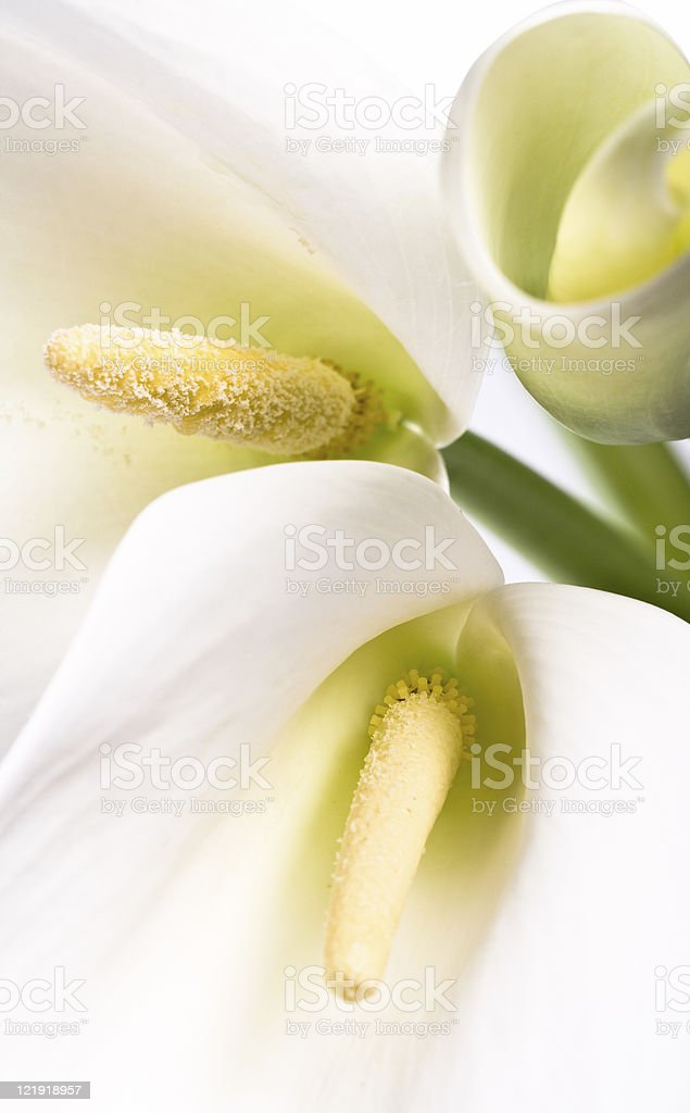 Calla Lilies - series royalty-free stock photo