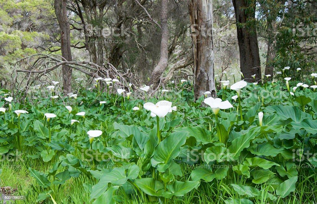 Calla Lilies: Weeds in Western Australia stock photo