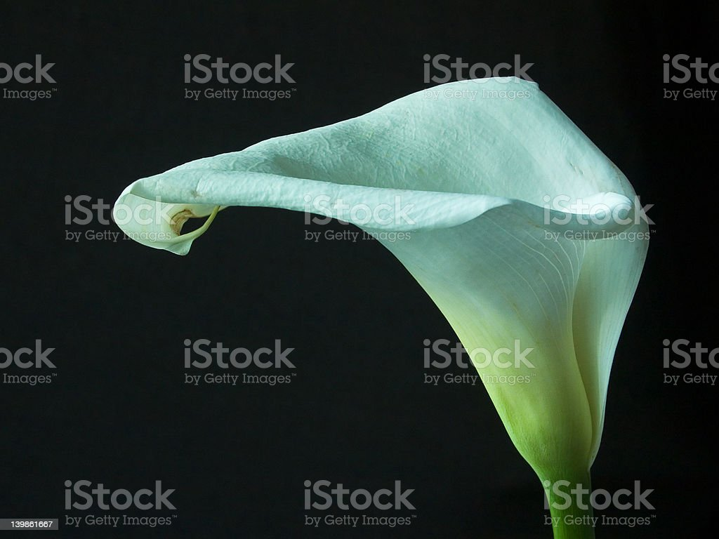 Calla lilly royalty-free stock photo