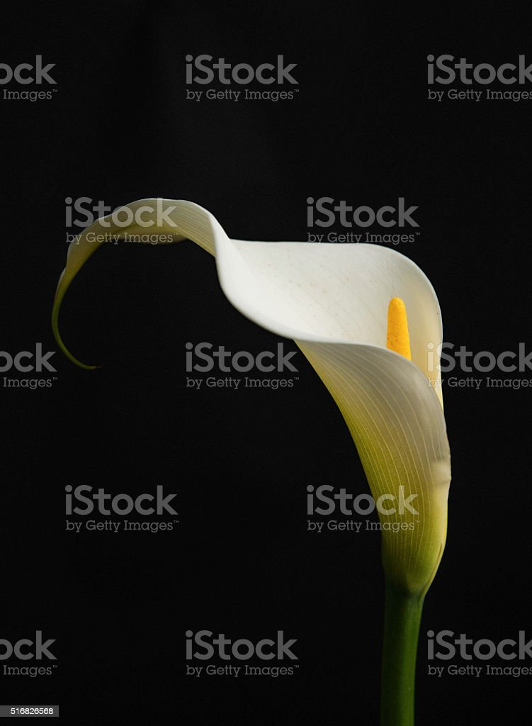 Calla lily bloom shot against black background stock photo