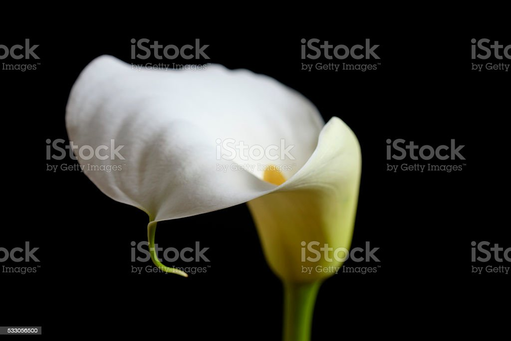 Calla lily flower with black background royalty-free stock photo