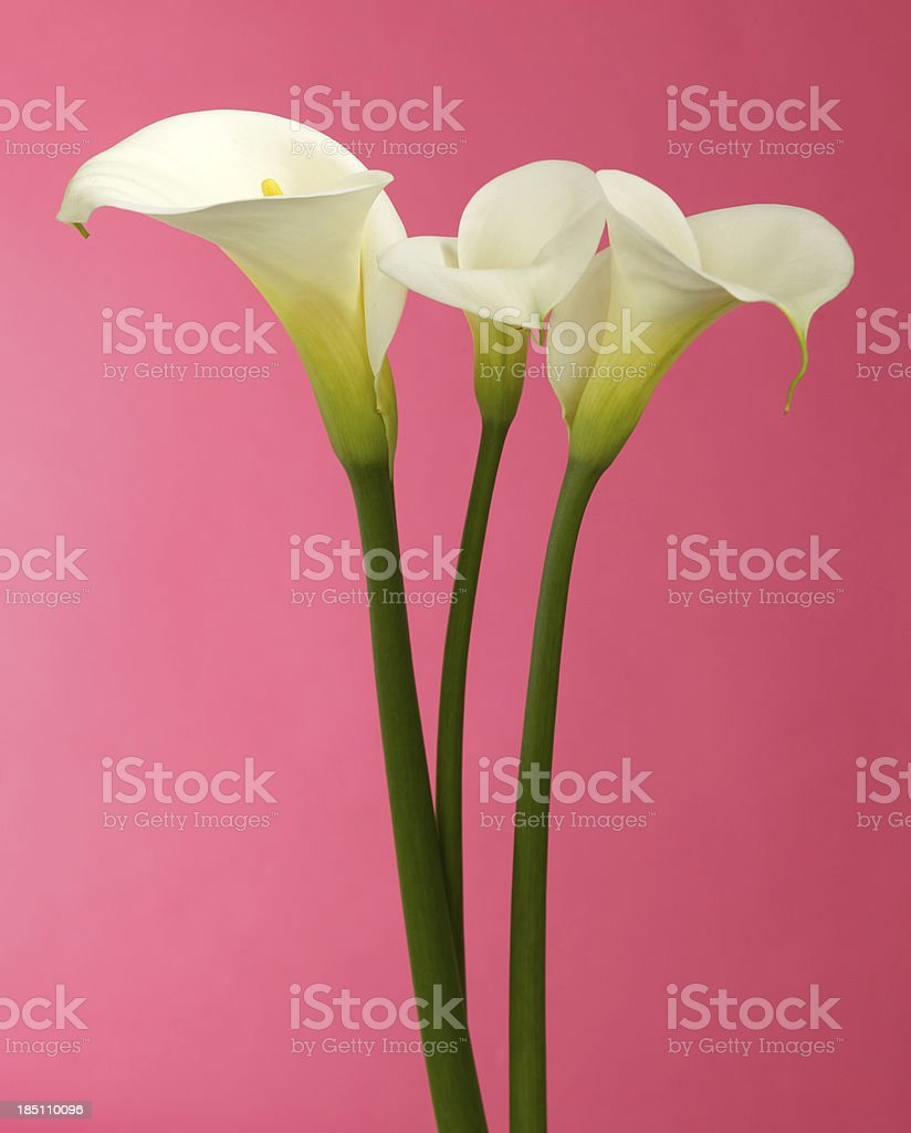 Calla Lily Flower with Pink Background and Copy Space royalty-free stock photo