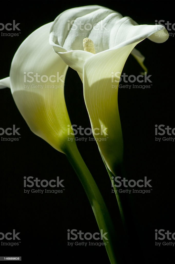 Calla Lily royalty-free stock photo
