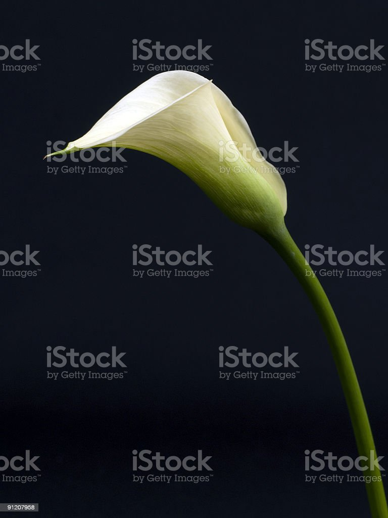 Calla Lily Side royalty-free stock photo