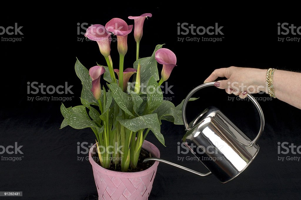 Calla Lily - watering on black royalty-free stock photo