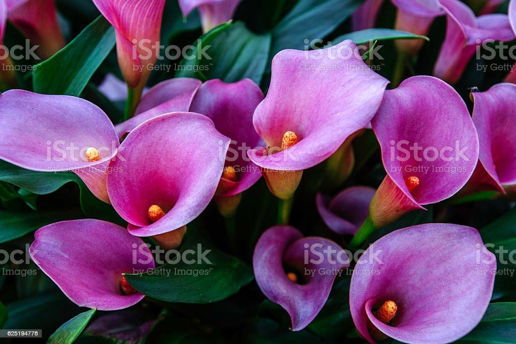 Calla lilys. Abstract background. Keukenhof Flower Park stock photo