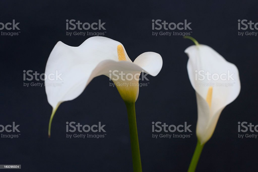 Callas stock photo