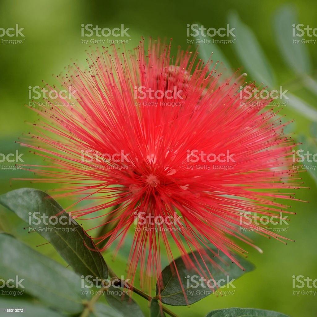 Calliandra haematocephala flower stock photo