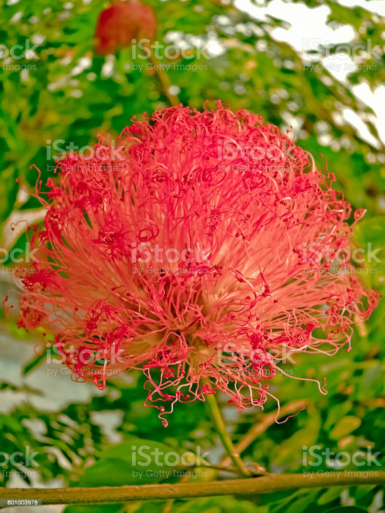 Calliandra haematocephala stock photo