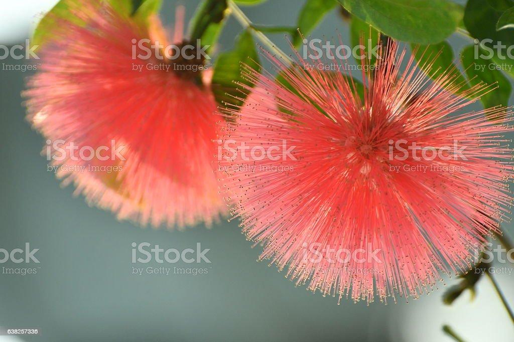 Calliandra Haematocephala / Red Powder Puff stock photo