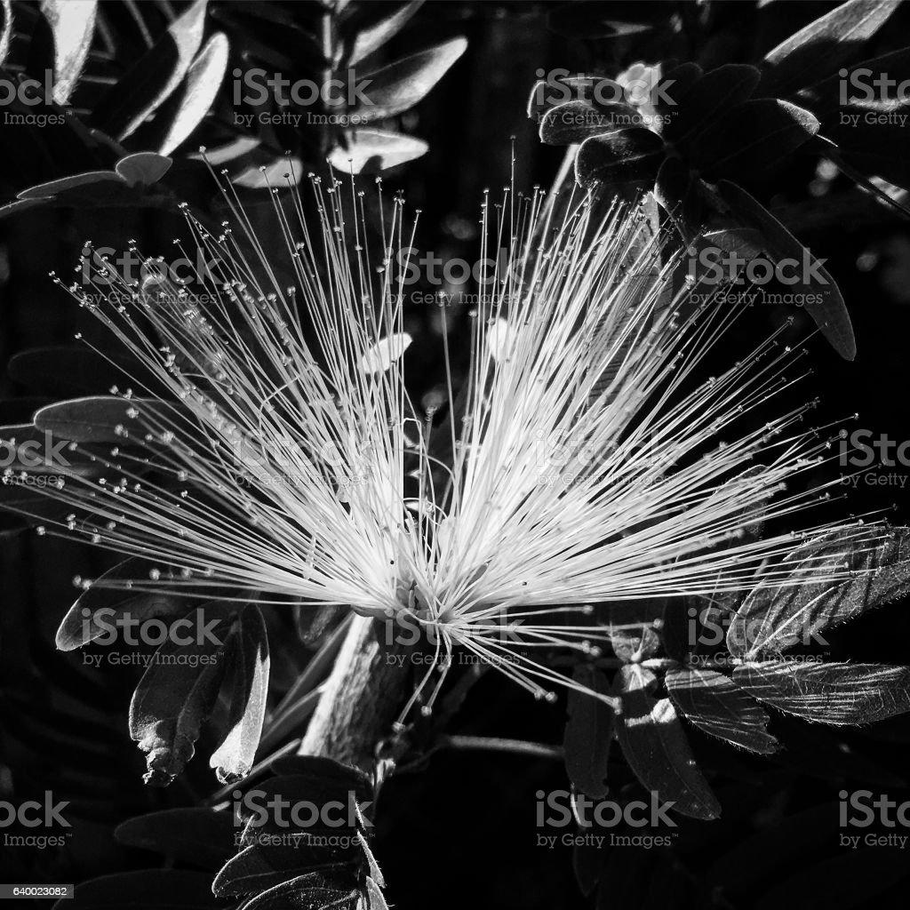Calliandra in Black and White stock photo