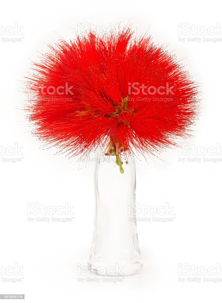 Calliandra stock photo