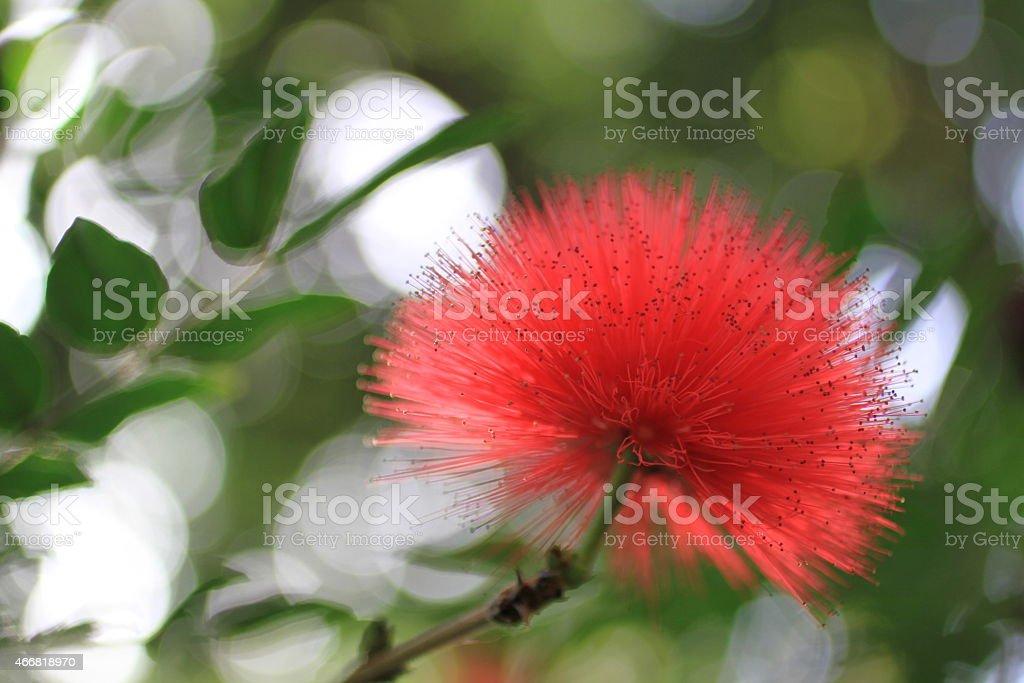 Calliandra Red Flower stock photo