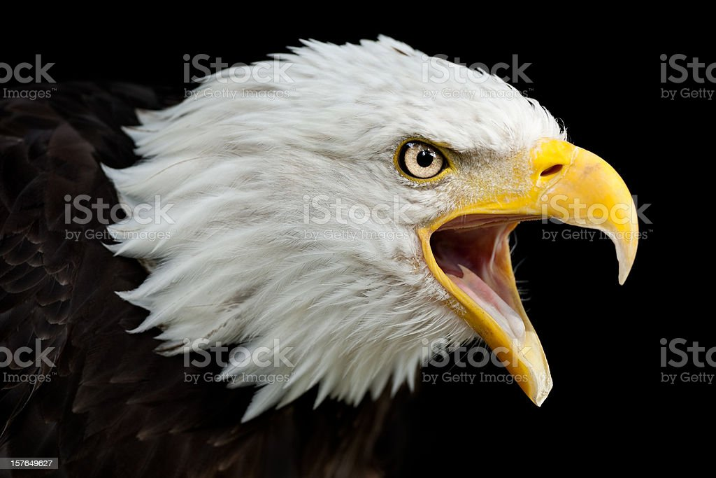 Calling Bald Eagle (Haliaeetus leucocephalus) royalty-free stock photo