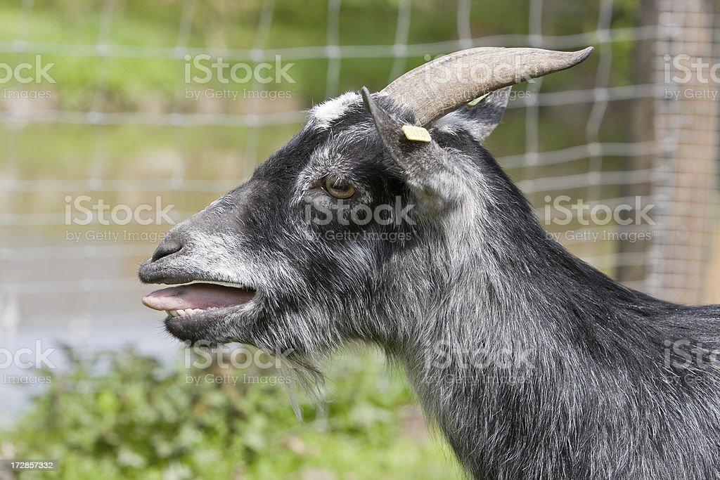 Calling Goat stock photo