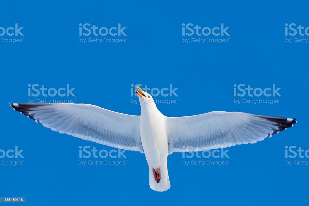 Calling herring gull flying in blue sky royalty-free stock photo