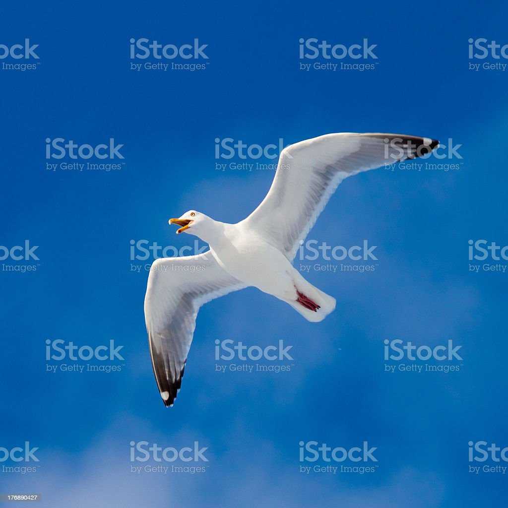 Calling herring gull flying in blue sky royalty-free stock photo