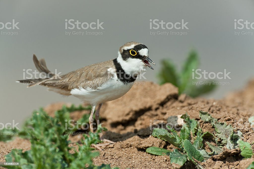 Calling Little Ringed Plover (Charadrius dubius) stock photo