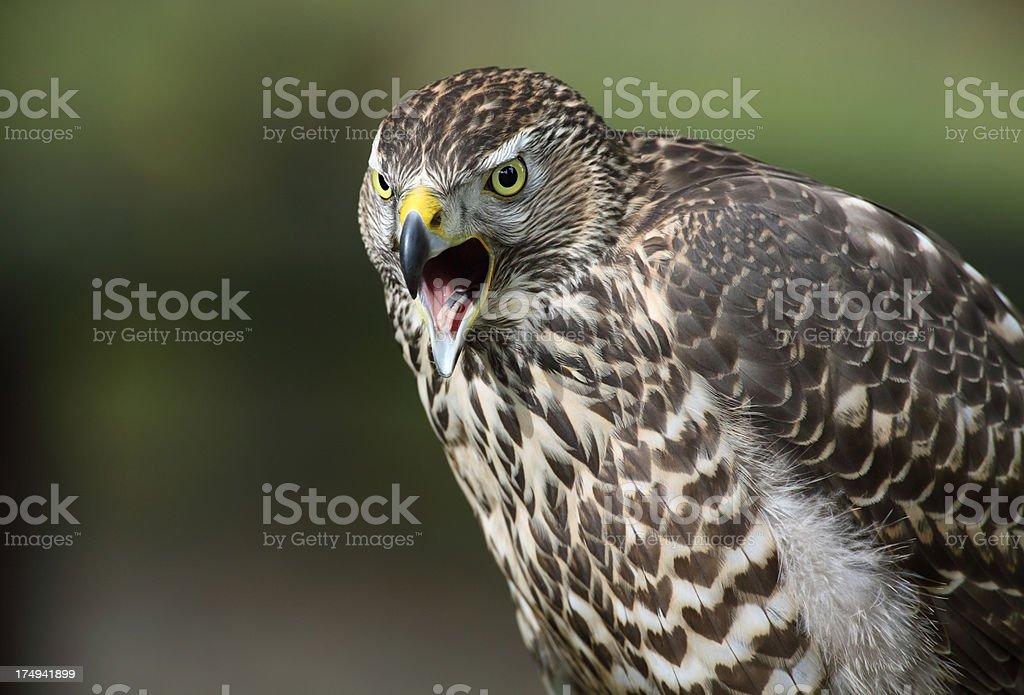 Calling Northern Goshawk (Accipiter gentilis) stock photo