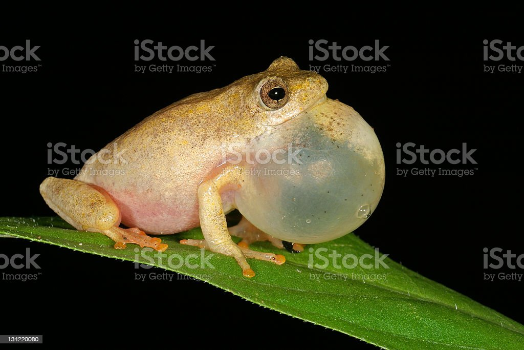 Calling painted reed frog stock photo