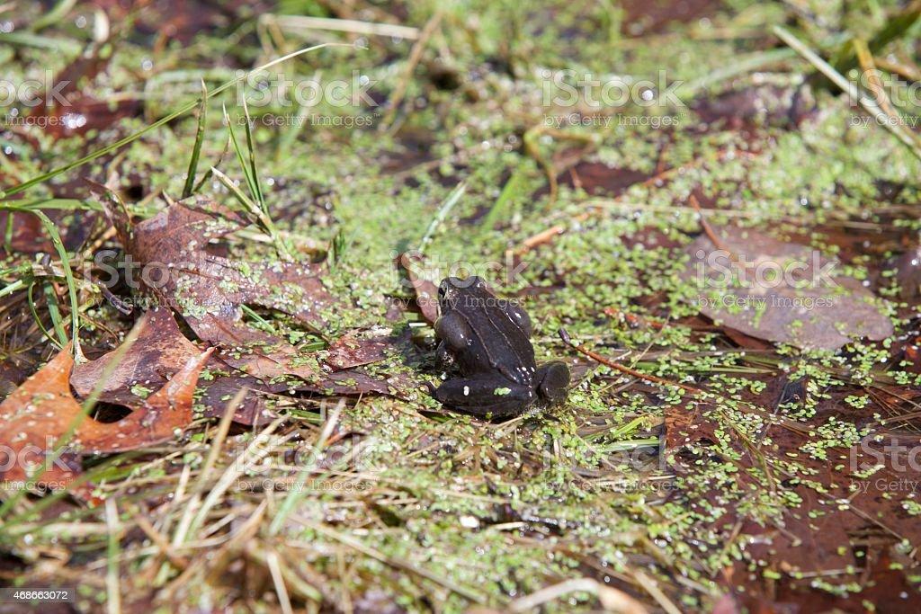 Calling Wood Frog stock photo