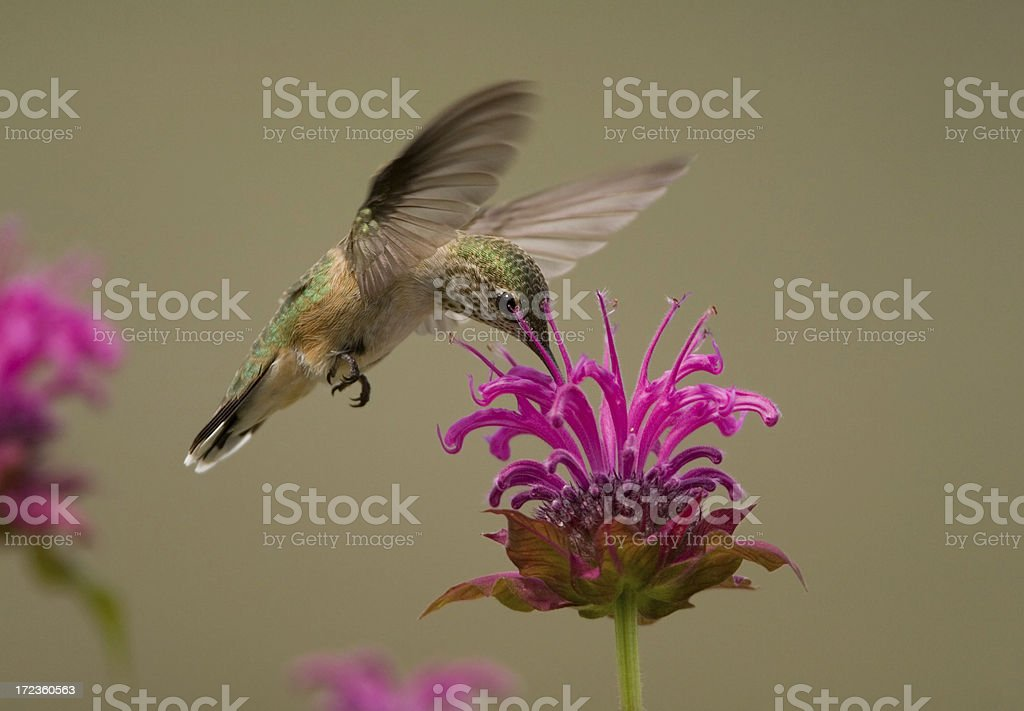 Calliope Hummingbird on Bee-balm Flower stock photo