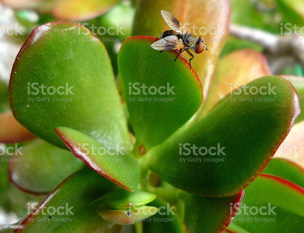 Calliphora on Crassula ovata close-up. royalty-free stock photo