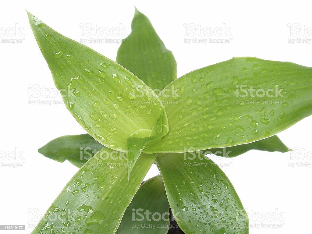 Callisia fragrans royalty-free stock photo