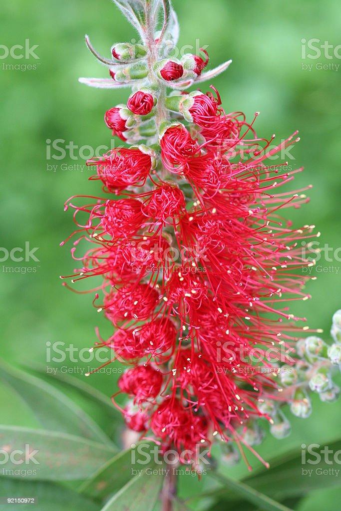 Callistemon blooming royalty-free stock photo