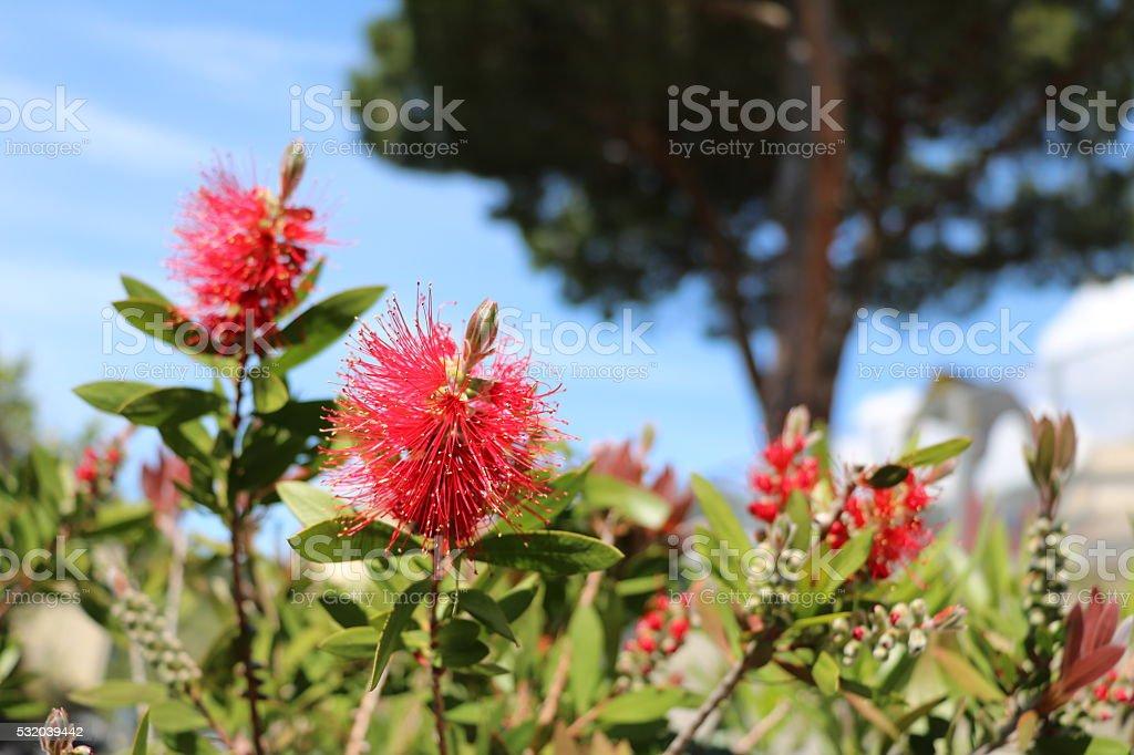 Callistemon, Bottlebrush flowers, native plant of Australia in Italy stock photo