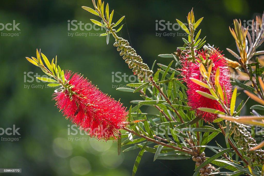 Callistemon viminalis red flower Weeping Bottlebrush stock photo