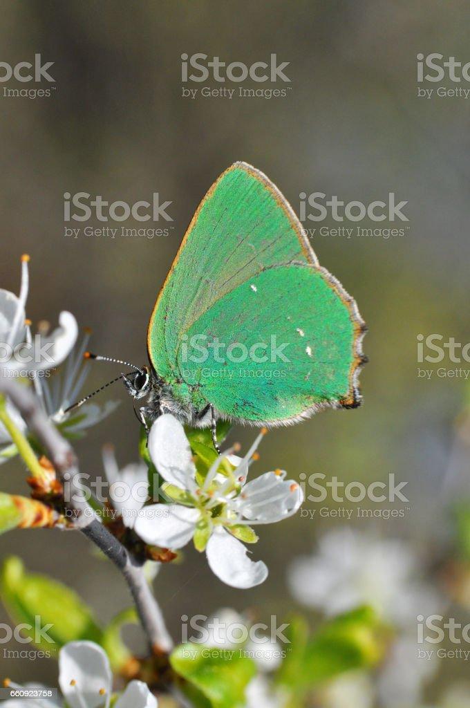 Callophrys rubi, Green Hairstreak butterfly - Lycaenidae family. stock photo