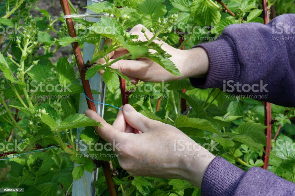 Calloused working hands of the farmer carefully caress gentle spring branches of garden blackberry against the blue sky stock photo