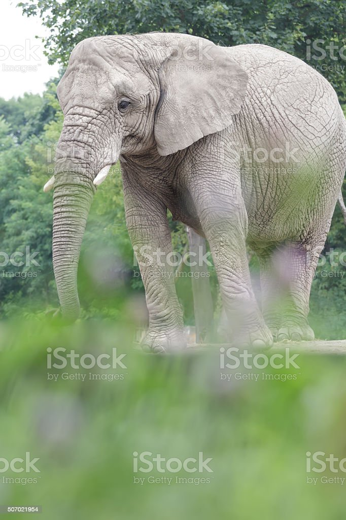 Calm African elephant resting at bushy land background stock photo