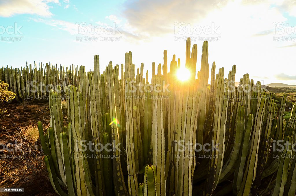 Calm Cactus Desert Sunset stock photo