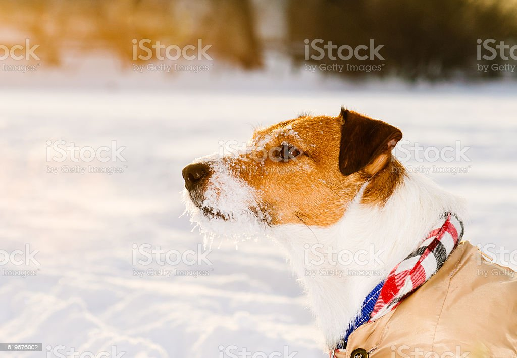 Calm dog with ice covered snout wearing warm apparel stock photo
