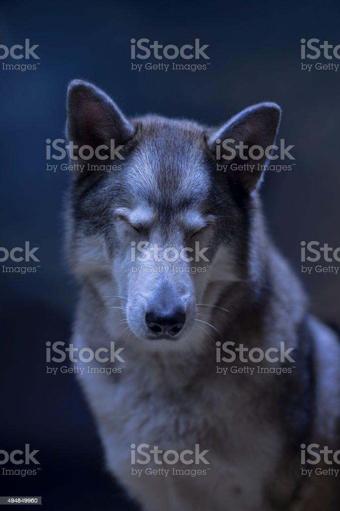Calm Grey Wolf stock photo