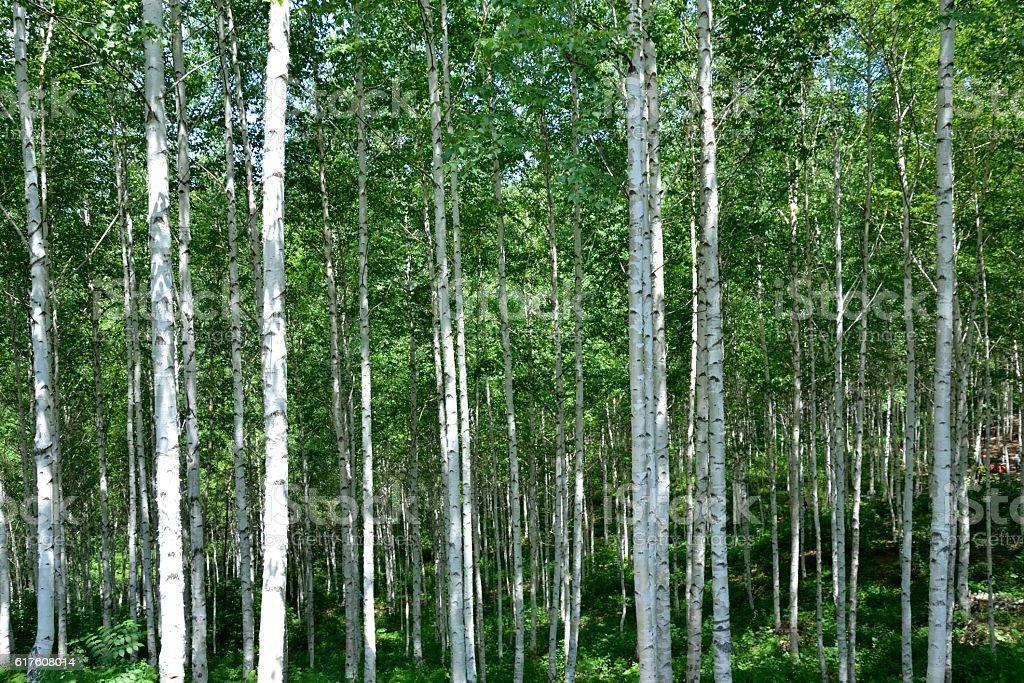 Calm & Peaceful Birch Trees stock photo