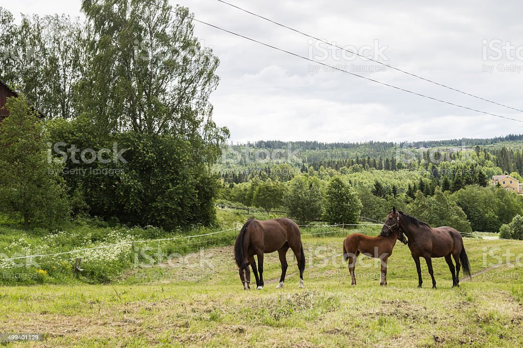 Calm scenery with horses royalty-free stock photo