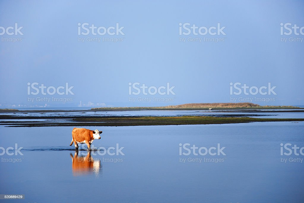 Calm water with walking cow stock photo